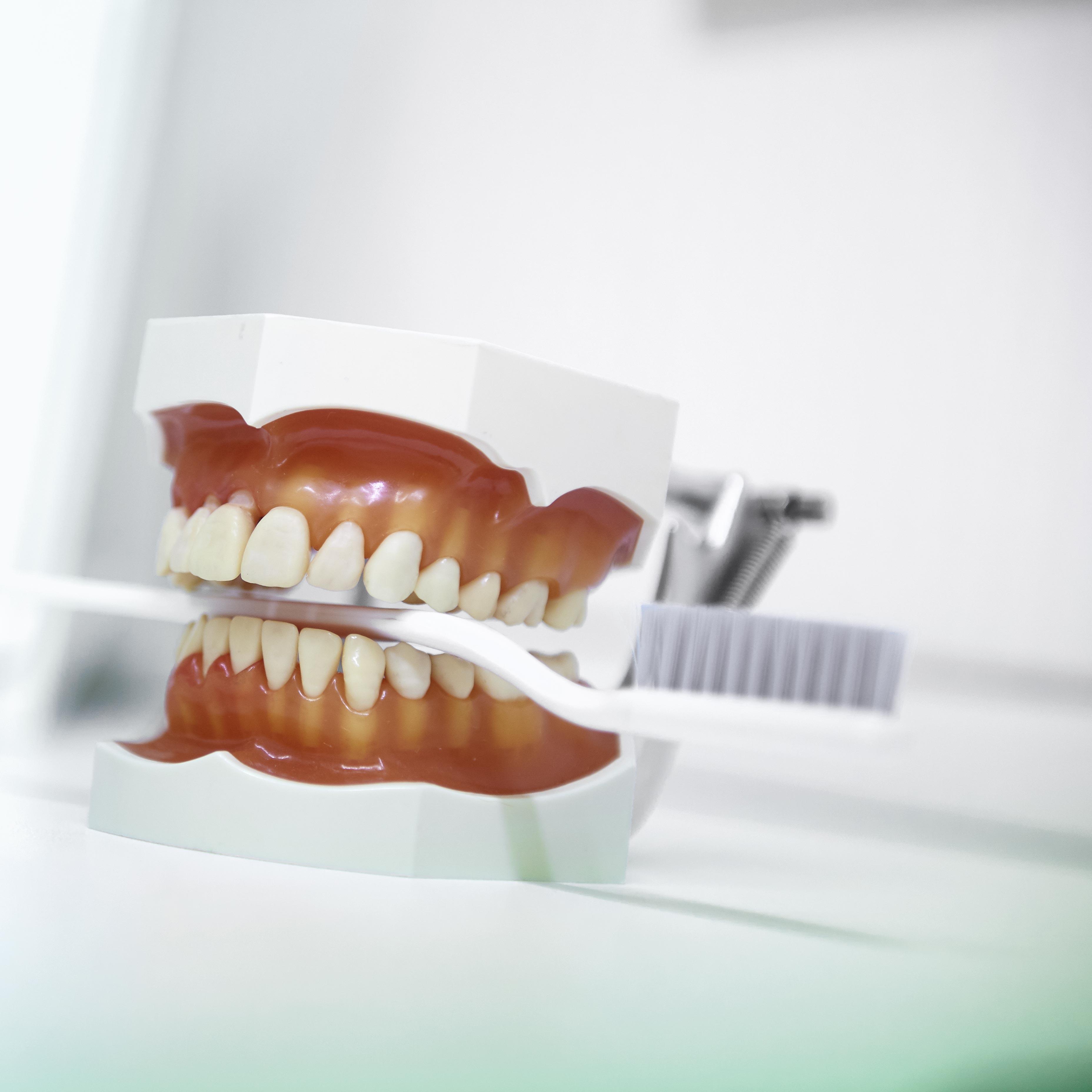 Demonstrations-Objekt für das erlernen der richtigen Mundhygiene